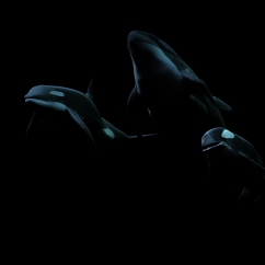 Orca by Moonlight